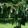 coho cherries